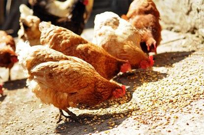 Mijn Dier Kippen Voeding