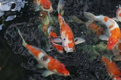 Mijn Tuin Vijver Visvoer