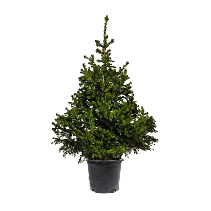 Kerstboom - Abies Fraseri container