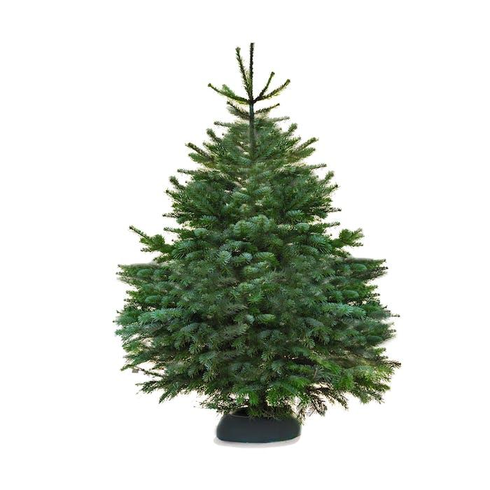 Kerstboom - Abies Nordmanniana Gezaagd